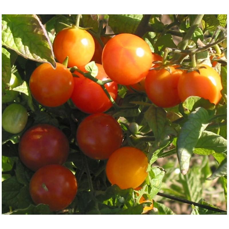 plant tomate cerise la tomate black cherry ou cerise. Black Bedroom Furniture Sets. Home Design Ideas