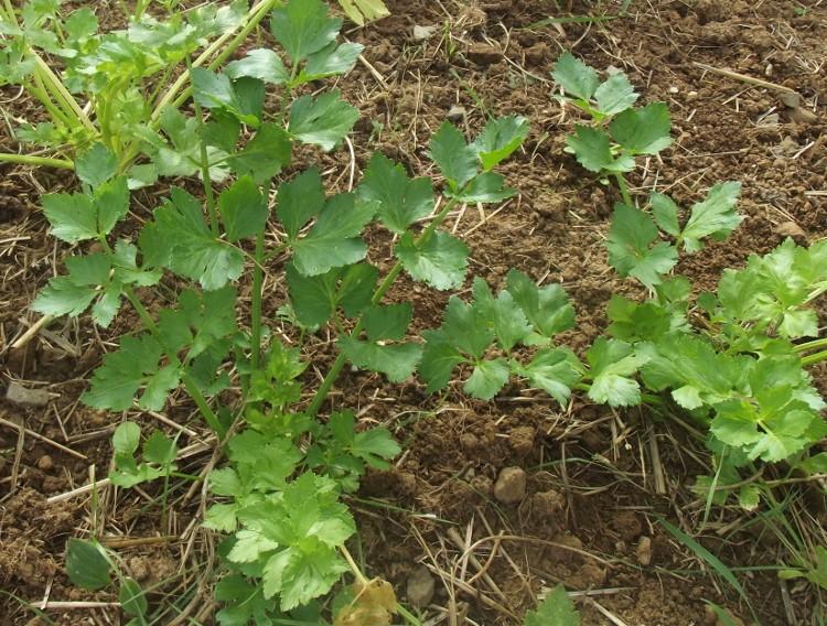 Recolte celeri branche faire repousser le cleri branche - Comment cuisiner le celeri en branche ...