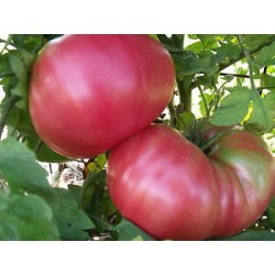 Tomate Brandywine Rose