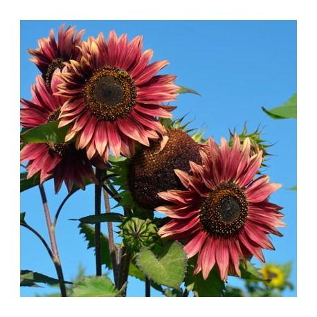 Tournesols à Fleurs Evening Sun